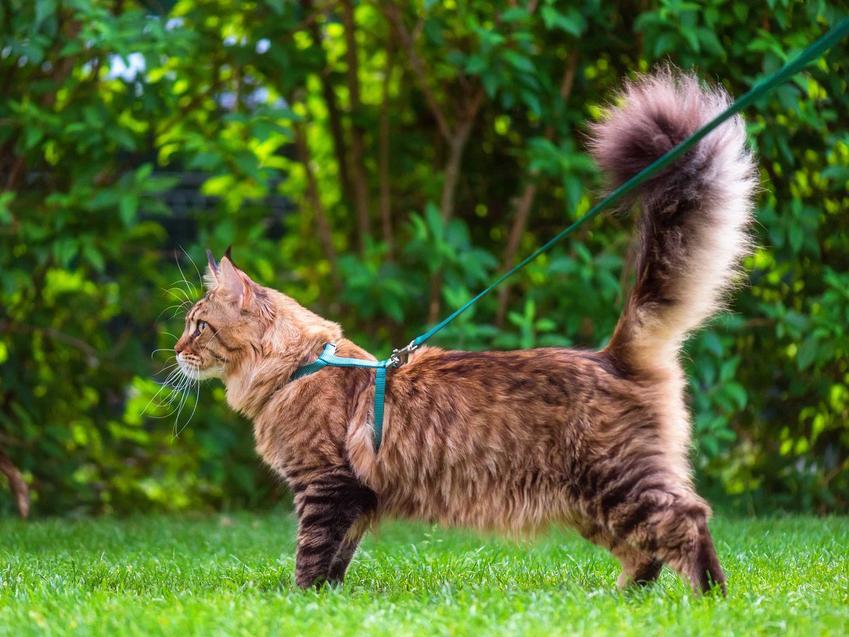 Kot na smyczy na spacerze, a także smycz dla kota, rodzaje, ceny oraz najlepsze modele i opinie właścicieli kotów