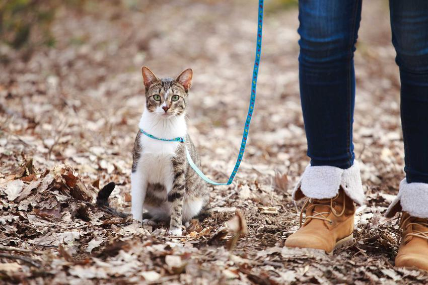 Kot przy nodze na smyczy na spacerze, a także informacje o smyczach dla kota, rodzaje, ceny, polecane modele oraz opinie