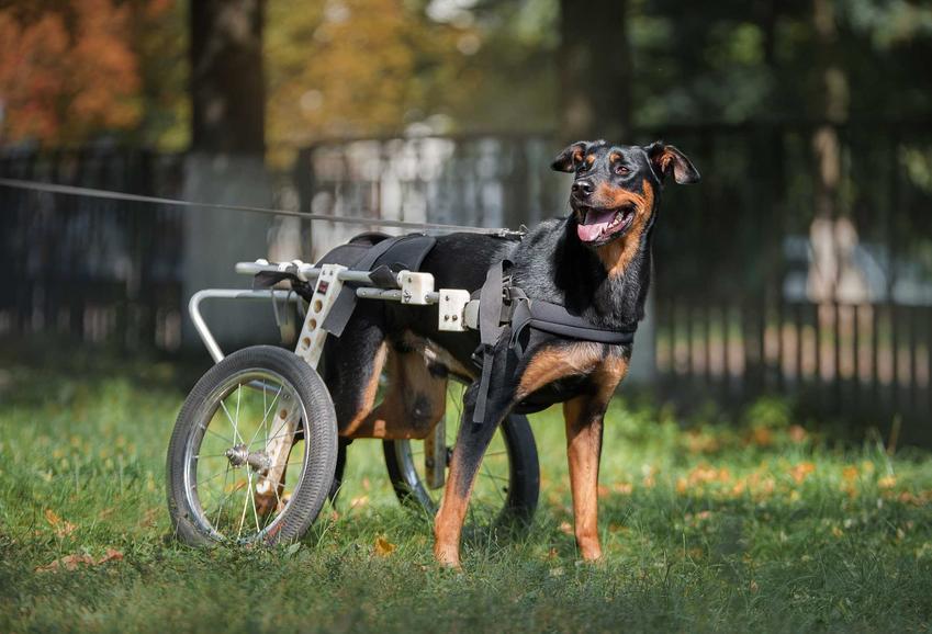 Duży pies doberman na wózku inwalidzkim, a także najważniejsze informcje - modele, ceny, porady praktyczne