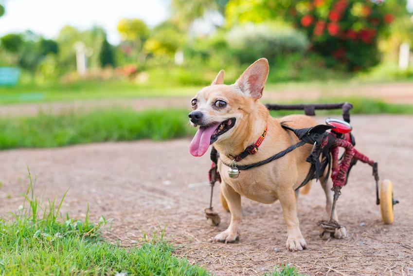 Mały pies w typie corgi na wózku inwalidzkim dla psa, czyli modele, porady praktyczne oraz ceny krok po kroku