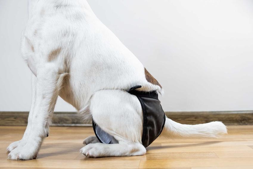 Mały pies w majtkach dla psów siedzący na podłodze, a także informacje: producenci, cena, porady oraz rodzaje