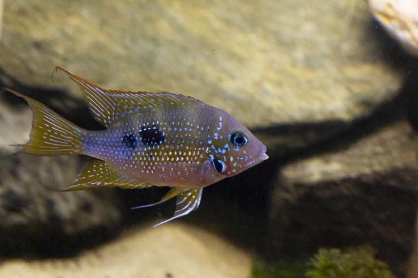 Pielęgnica Elliota pływająca w akwarium na tle kamieni, a także informacje o gatunku: żywienie, porady, opis wyglądu oraz pielęgnacja krok po kroku