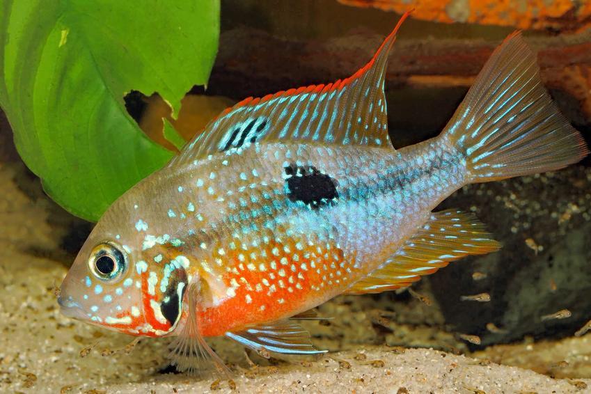 Pielęgnica Elliota w akwarium, a także informacje o gatunku: usposobienie ryby, pielęgnacja, żywienie, porady i opis wyglądu