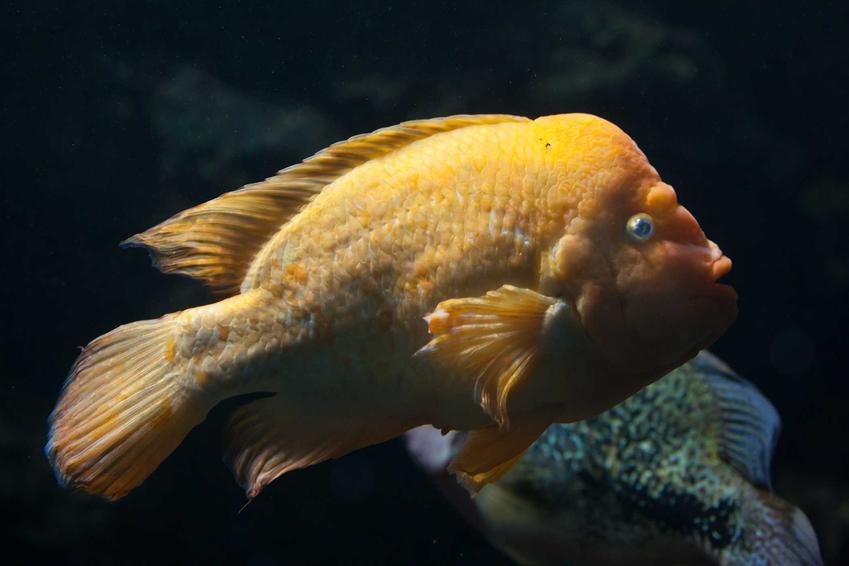 Ryba pielęgnica cytrynowa w akwarium, a także wymagania, charakterystyka gatunku, porady oraz opinie