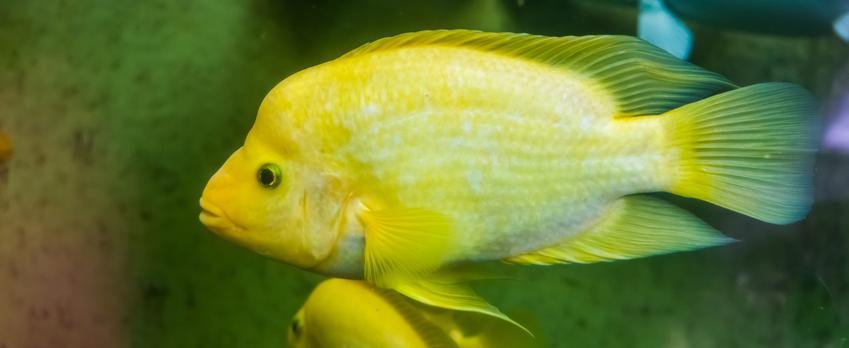 Dwie pielęgnice cytrynowe w akwarium na tle roślin, a także charakterystyka, wymagania, porady oraz opinie