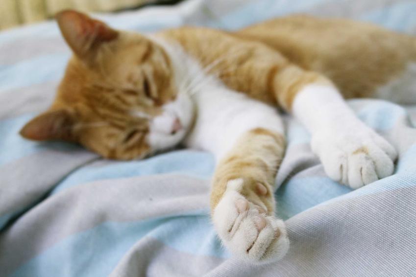 Chory na panleukopenię kot leżący na kocyku, a także najważniejsze informacje: rokowania, przyczyny choroby, leczenie i objawy