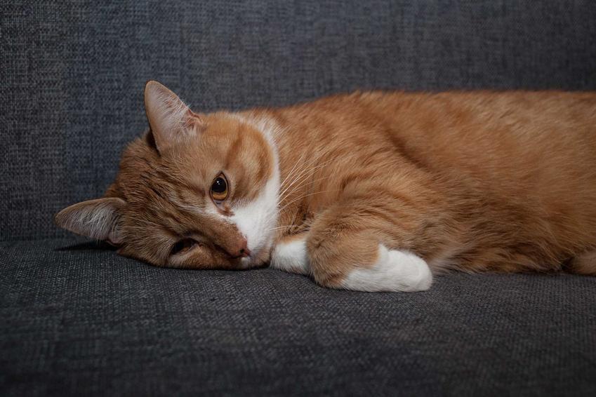 Rudy kot chory na koci tyfus, a także objawy, leczenie, powikłania, diagnostyka oraz przyczyny choroby