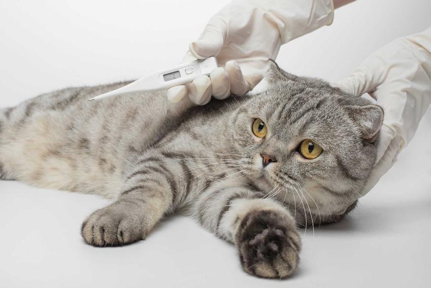 Kot ma mierzoną temperaturę w czasie diagnozy choroby zakaźnej, a także przyczyny zakaźnych chorób u kotów, leczenie i powikłania