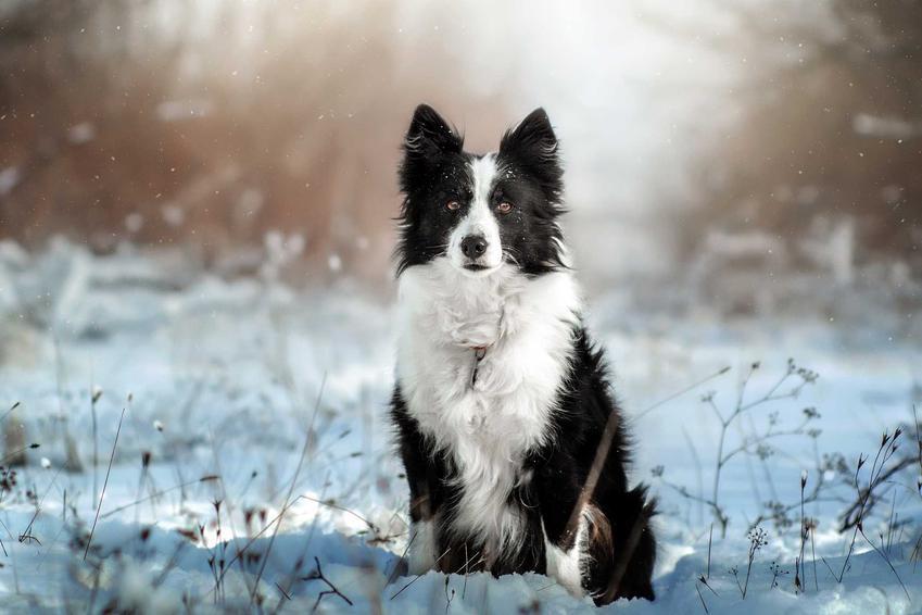 Border Collie na śniegu, a także TOP10 najładniejszych psów na świecie krok po kroku