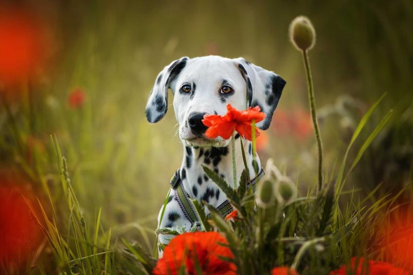 Dalmateńczyk w makach, a także 10 najładniejszych psów na świecie krok po kroku