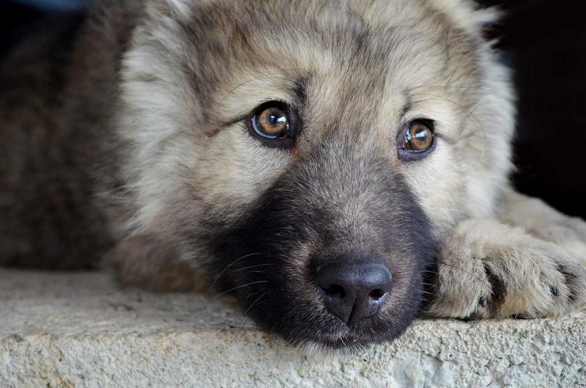 Owczarek kaukaski leżący na ziemi, a także 10 najładniejszych psów na świecie, nasze TOP10