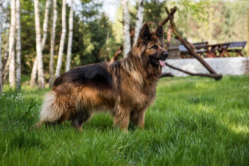 Duży owczarek niemiecki na tle trawy, a także TOP10 najładniejszych psów na świecie - nasze zestawienie