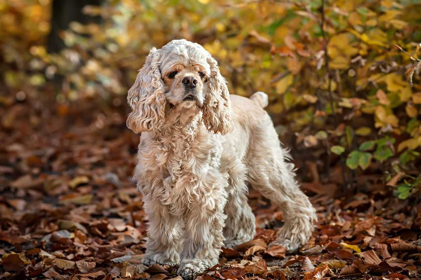 Cocer spaniel o jasnej sierści, a także TOP10 najładniejszych psów na świecie krok po kroku