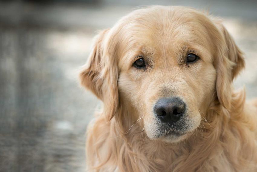 Rolden Retriver na szarym tle, jeden z najpiękniejszych psów na świecie, a także nasze TOP 10