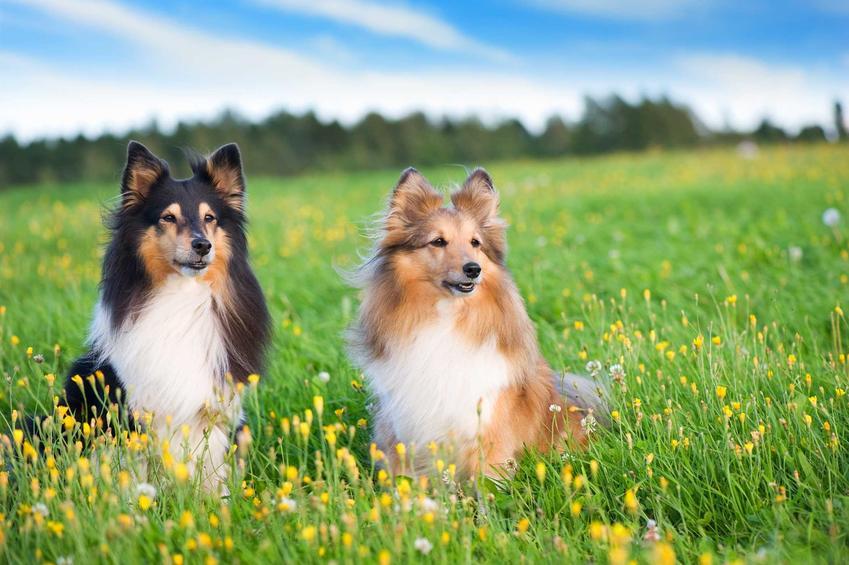 Owczarki Szetlandzkie leżące na trawie, a także TOP10 najładniejszych psów na świecie - zestawienie najpiękniejszych psów
