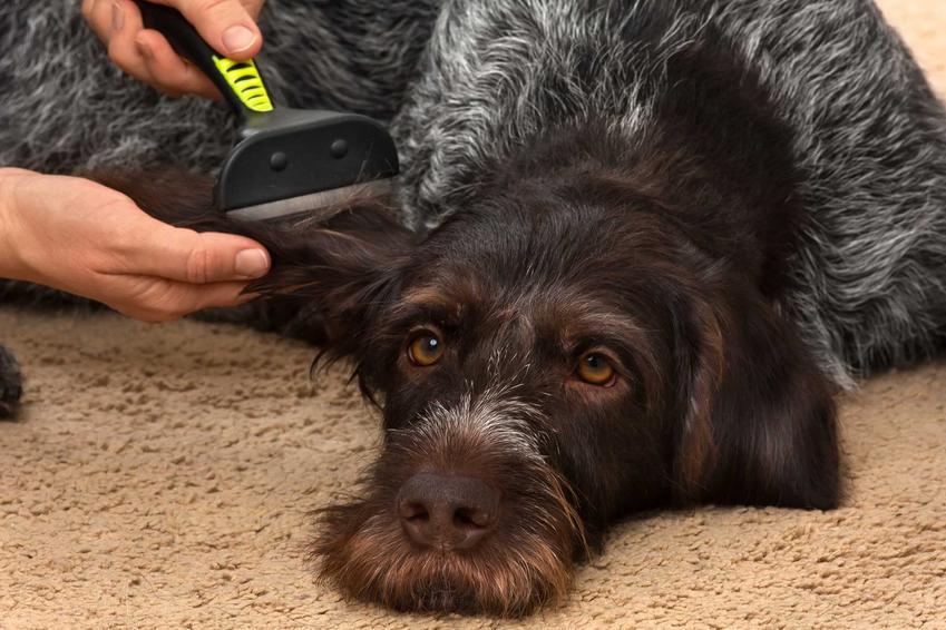 Duży pies wyczesywany przez właścicielkę, a także czym jest podszerstek u psa i jakie psy mają podszerstek