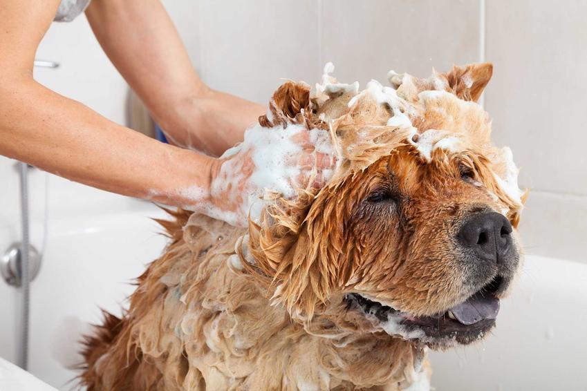 Pies w kąpieli, a także szampon dla psa z podszerstkiem oraz czym jest podszerstek dla psa krok po kroku