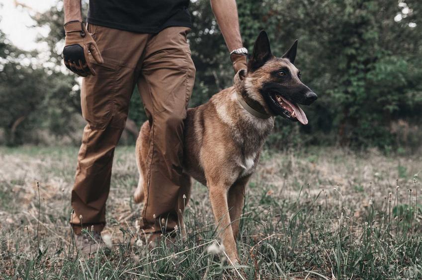 Mężczyzna prowadzący psa Belgian Malinois po lesie, a także charakter i opis rasy, szkolenie oraz cena szczeniąt