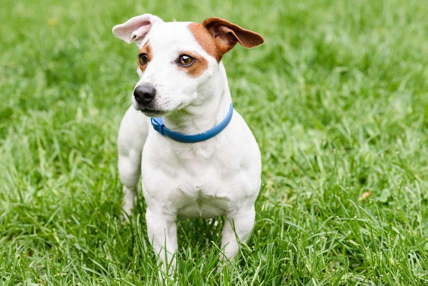 Pies Jack Russel Terier w obroży na kleszcze na szyi, a także najskuteczniejsze preparaty na kleszcze dla psa krok po kroku