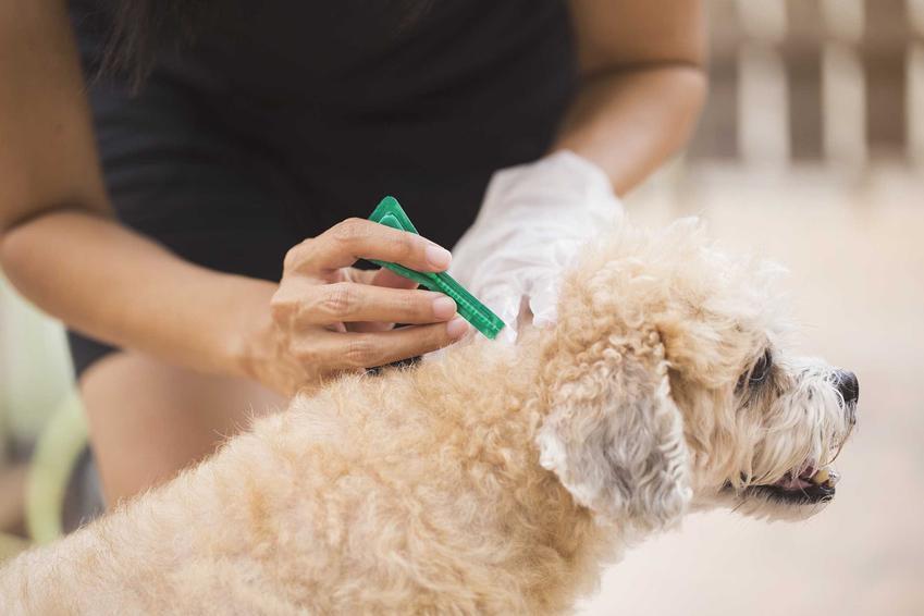 Krople na kleszcze i pchły dla psa zakrapiane na kark, a także najlepsze skuteczne preparaty na kleszcze