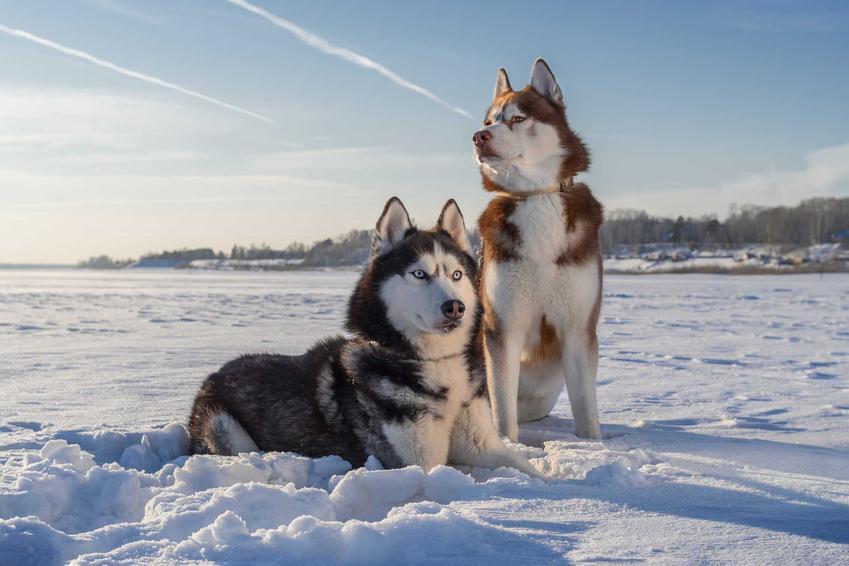 Husky syberyjskie na śniegu, a także TOP10 ras psów znanych z filmów i książek