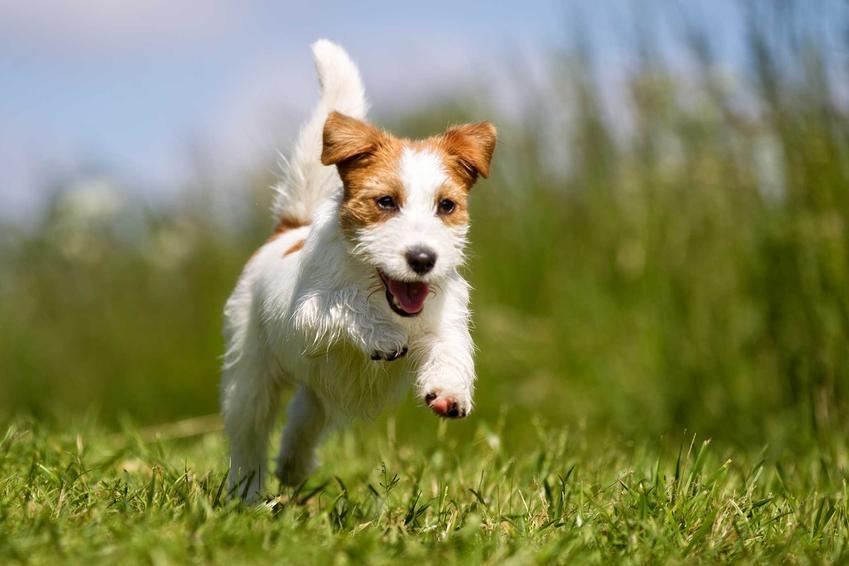 Jack Russel Terrier biegnący po trawie, rasa wykorzystywana w wielu filmach, a także TOP10 ras psów znanych z filmów i książek