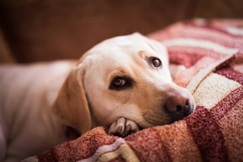 Lablador znany z filmu Był sobie pies, a także TOP10 ras psów znanych z filmów i książek