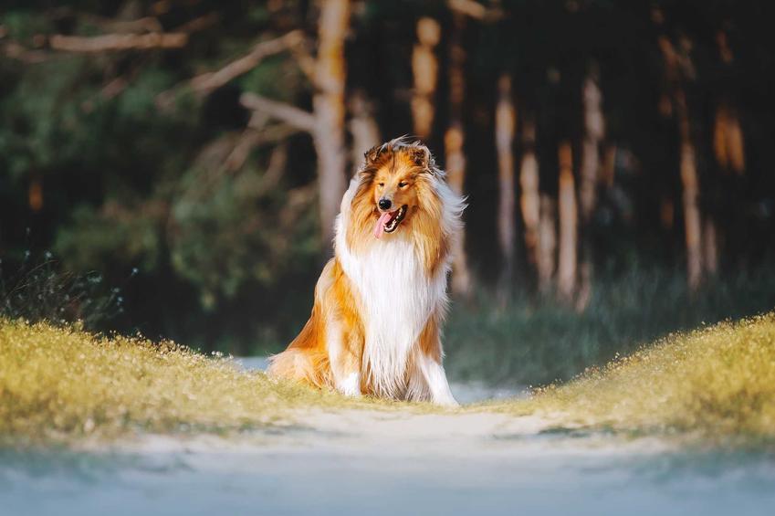 Owczarek szkocki utożsamiany przede wszystkim z filmem Lassie, wróć, a także TOP10 ras psów znanych z filmów i książek