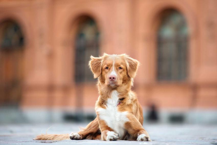 Pies rasy Nowa Scotia Tolling Rerriver leżący na chodniku przed zabytkowym budynkiem, a także wymagania, porady oraz usposobienie i charakter