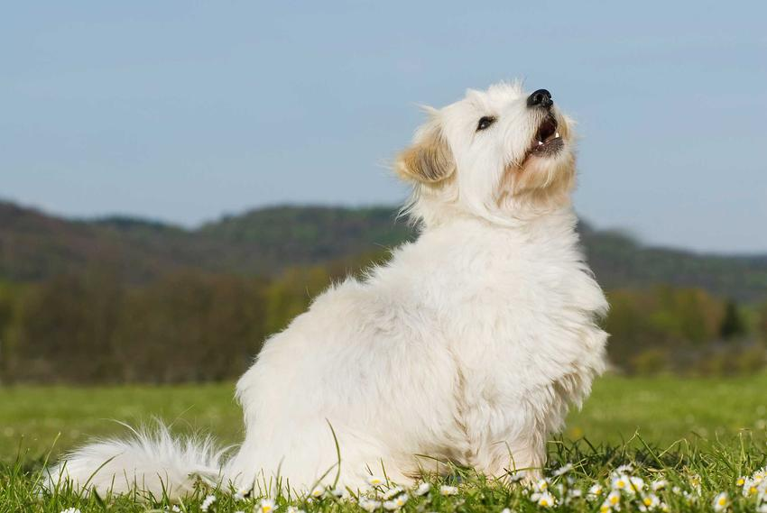 Pies rasy Coton de Tulear siedzący na trawie, a także informacje o rasie, usposobienie, pielęgnacja, wymagania i porady