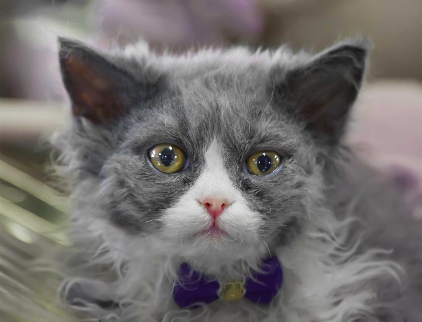Dorosły kot Minskim o szarej sierści i zielonych oczkach, a także pochodzenie kota, informacje, pielęgnacja, zastosowanie, charakter, usposobienie oraz wygląd zwierzęcia