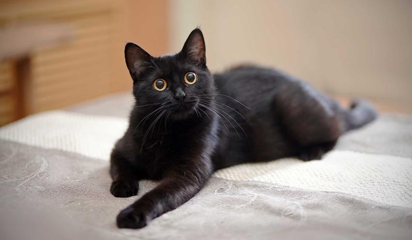 Kot rasy York Chocolate leżący na łóżku, a także informacje o rasie, opis wyglądu i usposibienia, charakter oraz pielęgnacja i porady