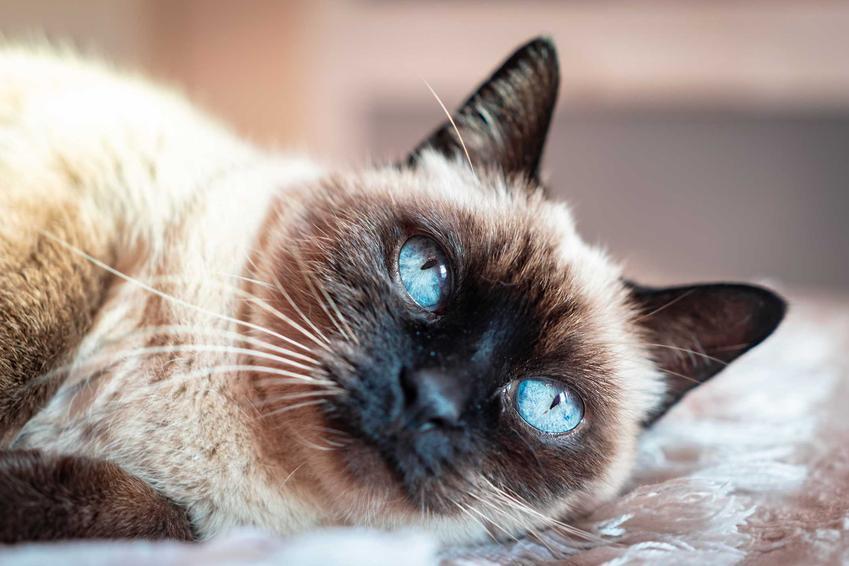 Kot rasy Ojos Azules o wyjątkowo niebieskich oczach, a także informacje o rasie, pochodzenie, opis, usposobienie, charakter oraz porady dla hodowców