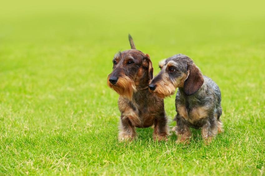 Dwa małe psy rasy jamnik szorstkowłosy króliczy i ich opis