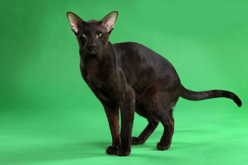 Dorosły kot hawański o czarnej sierści i szpiczastych uszach, a także informacje o rasie: ceny, wymagania, opis, charakter