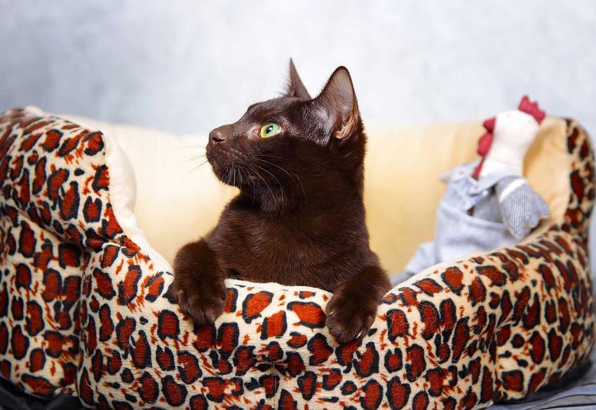 Kot hawański leżący na posłaniu dla kota, a także informacje o rasie: usposobienie, charakter, opis, wymagania, ceny kociąt