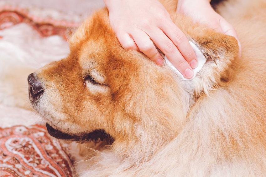 Czyszczenie uszu u psa przez właścicielkę wacikiem, a także jak czyścić uszy psa i kota krok po kroku - porady i wyjaśnienia