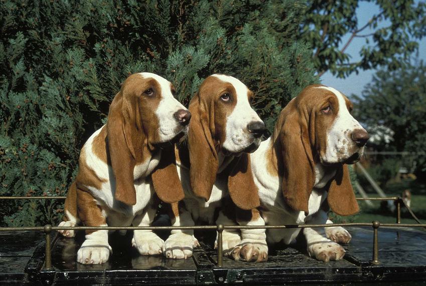 Bassety, czyli psy z długimi uszami, a także inne rasy z długimi uszami, charakterystyka i opis