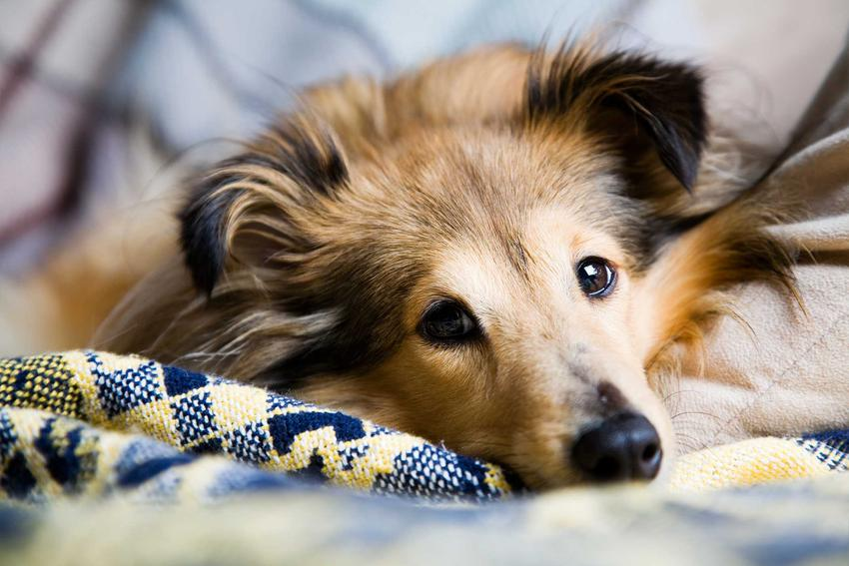 Owczarek szetlandzki, a także informacje o psach z długimi uszami, charakterystyki, opisy, najlepsze rasy