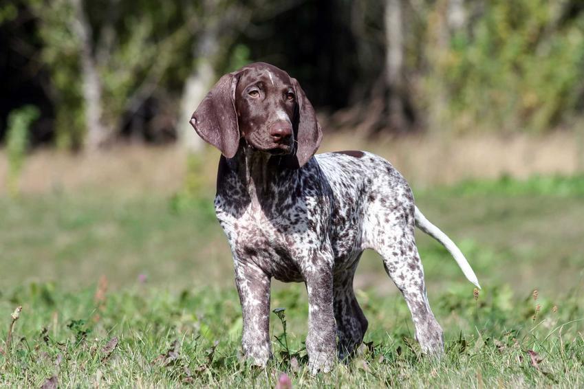 Pies z długimi uszami stojący na łące z trawą, a także informacje o psach z długimi uszami - najlepsze rasy, nawjażniejsze informacje, opis
