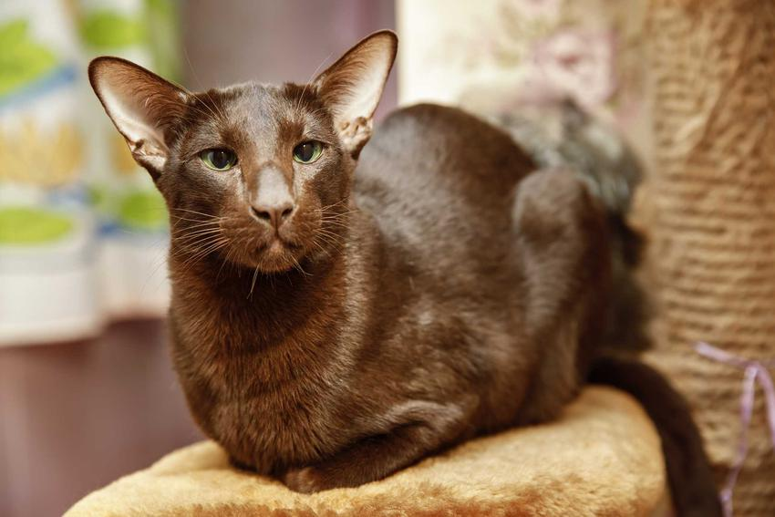 Kot rasy Havana Brown siedzący na domku dla kotów, a także opis, usposobienie, wymagania, najważniejsze informacje i historia