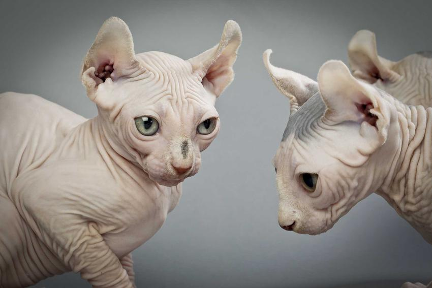 Dwa koty elfie na szarym tle, a także informajce o ich hodowli, porady, opis wyglądu, usposobienie i charakter oraz wymagania i pielęgnacja skóry