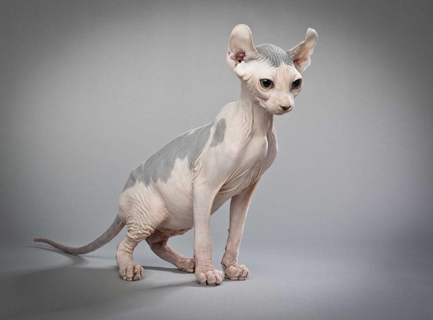 Kot elfi bez sierści z wyraźnymi plamami na grzbiecie na szarym tle, a także pochodzenie, opis, wymagania, pielęgnacja i usposobienie