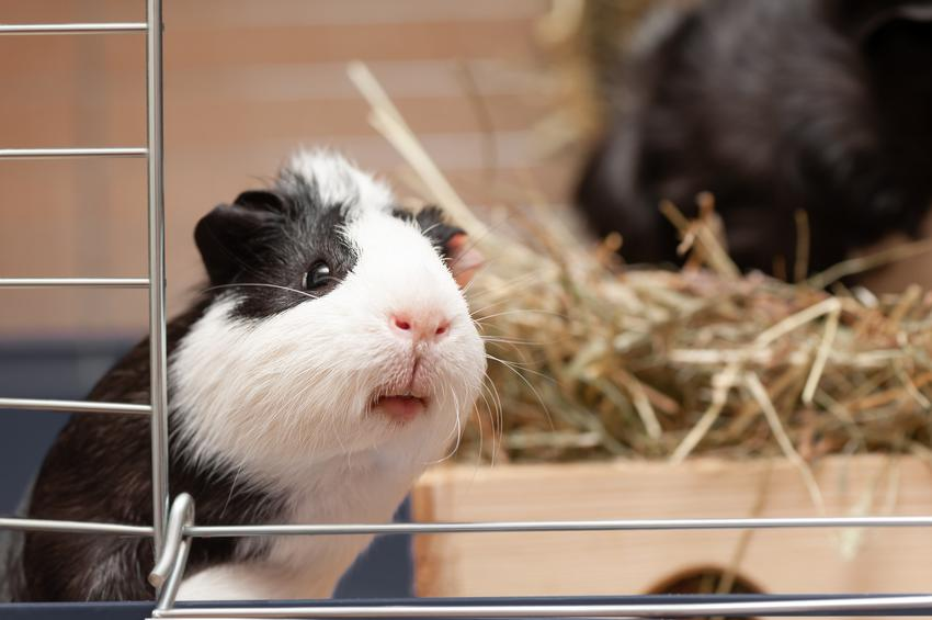 Świnka morska w klatce, a także inne popularne zwierzęta futerkowe w Polsce