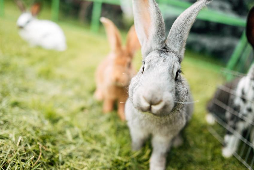 Króliki na trawie, a także inne popularne zwierzęta futerkowe w Polsce