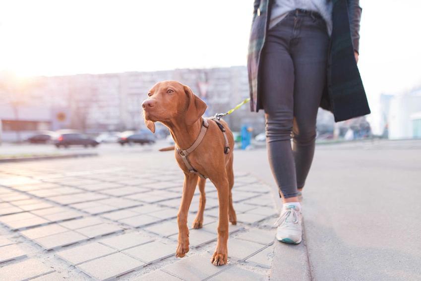 Duży pies w szelkach bezuciskowych na spacerze, a także modele szelek bezuciskowych, ceny, porady, najważniejsze informacje