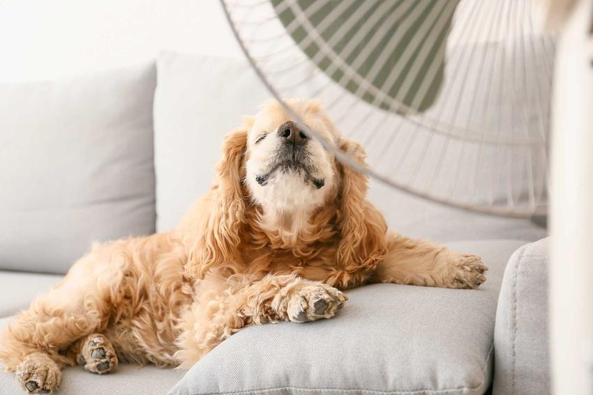 Pies chłodzi się przy wiatraku w upalny dzień, a także kamizelki chłodzące dla psa krok po kroku, modele, działanie, najważniejsze informacje