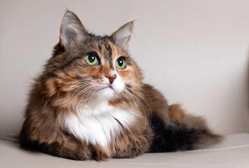 Starszy kot leżący na kanapie, a także jak liczyć wiek kota, jak przeliczyć lata kota na wiek ludzki krok po kroku