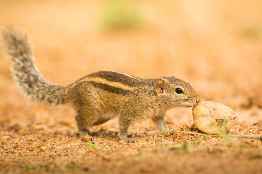 Wiewiórka burunduk syberyjski jedząca kawałek chleba, a także informacje o gatunku, usposobienie, wymagania i hodowla