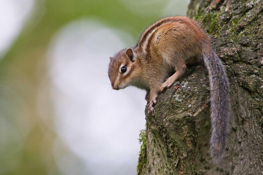 Wiewiórka burunduk syberyjski na drzewie, a także charakterystyka gatunku, usposobienie, hodowla oraz wymagania w domu